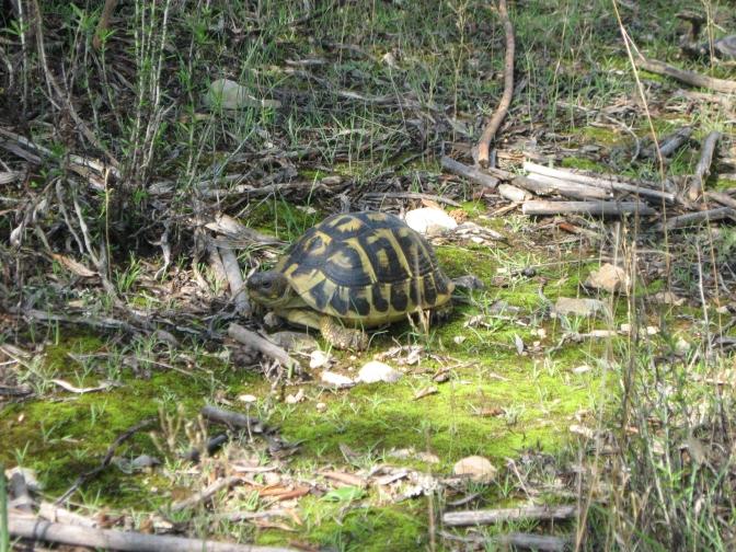 Tortuga mediterránea en su hábitat natural