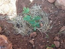 Planta de sandía